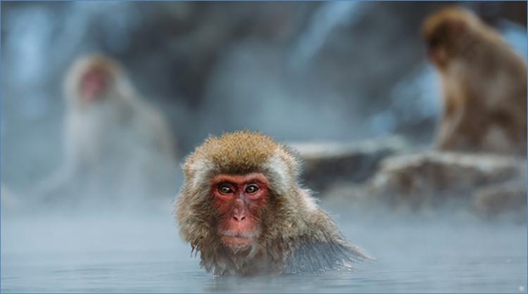 centième singe